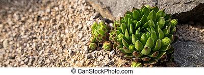 Succulent houseleek flower planted in a rockery garden. Rock garden sempervivum plant web banner close up.