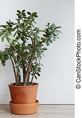 Succulent houseplant Crassula ovata in a pot on the table