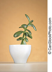 succulent, houseplant, pot, fond, orange, blanc, crassula