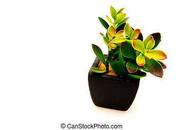 Succulent in black pot isolated on white background
