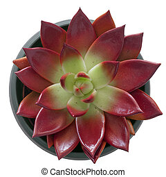 succulent, in, een, pot