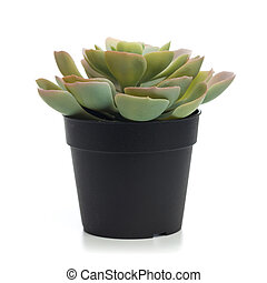 succulent on pot isolated on white.