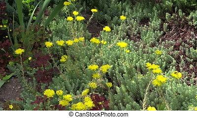 succulent orpin garden - green nice succulent orpin (lot....