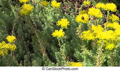 succulent orpin plant - Yellow succulent orpin plant flower...