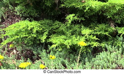 succulent orpin plant - Yellow succulent orpin plant blooms...