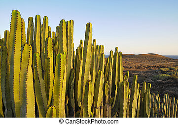 Succulent Plant Cactus on the Dry Desert at Sunset