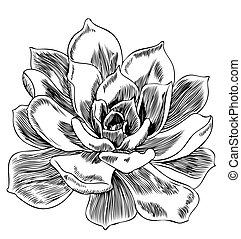Succulent plant - hand-drawn engraving illustration.