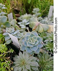 Succulent plant in a pot - stone rose. Cactus variety in the conservatory of the Botanical Garden