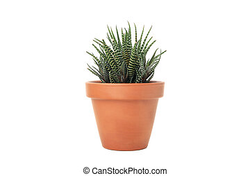 Succulent plant in pot isolated on white background