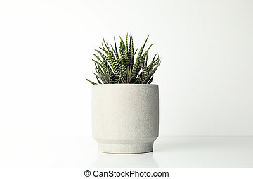 Succulent plant in pot on white background, space for text