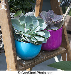 succulent plant in the blue pot stand on the wooden ladder