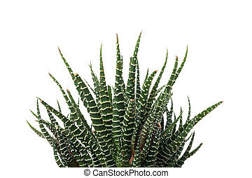 Succulent plant isolated on white background, close up