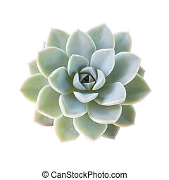 succulent plant isolated on white background.