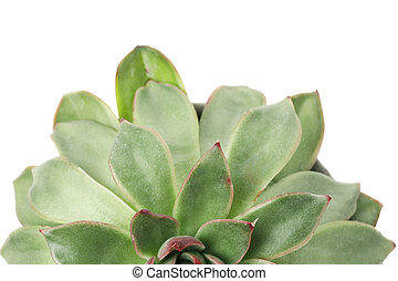 Succulent plant isolated on white background, top view