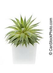 Succulent plant - Succulent houseplant aloe vera in a pot...