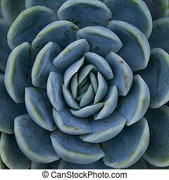 succulent plant / symmetrical pattern / nature