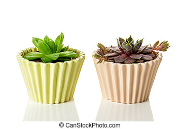 Succulent plants in ceramic pots on white background