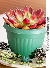 succulent, pot fleurs, rouge vert
