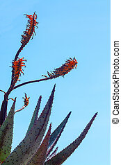 Succulent red agave flowers