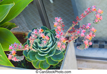 Succulent with pink small flowers
