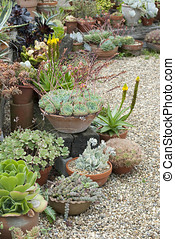 Succulents for sale at garden centre in Essex Uk