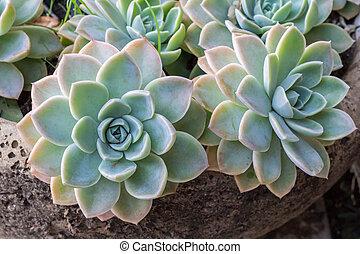 Succulents in a plant pot close up