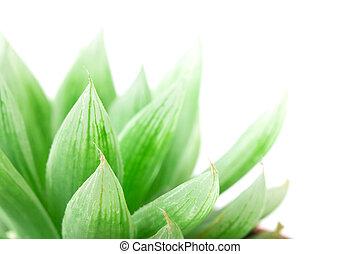 succulents, liść, do góry, tło, zamknięcie, biały