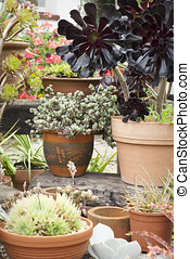 succulents, potted, centro jardim