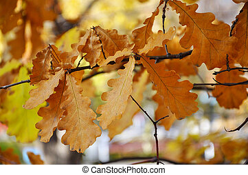suchý, list, dub, filiálka, podzim