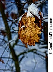 suchý, oak list, sněžit, filiálka