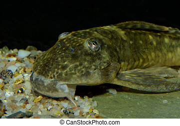 Suckermouth catfish