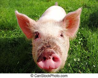 sucking-pig - Curious pig