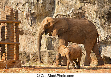 Suckling baby African Elephant playing with mum.