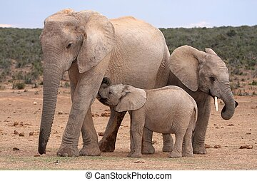 Baby elephant suckling from it's mother while brother stands by