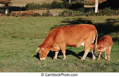A Limousin calf suckles his mother in the late autumn evening light