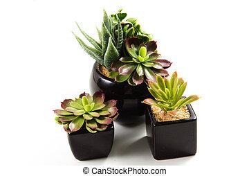 suculento, plantas