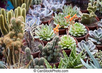 suculento, plantas, colección