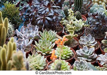 suculento, plantas, colección, en, pequeño, ollas