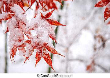 sud, arbre, couvert, neige, korea., érable, automne, rouges