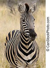 sud, burchell's, afrique, zèbre plaines, zebra, africaine, ...