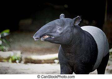 sud-est, tapiro, asiatico