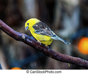 Sudan Golden Sparrow Close Up
