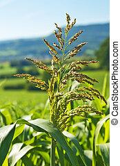 sudan, gräs, durra, sudanense, energi, växt, för, gas