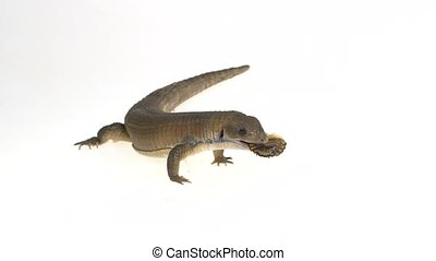 Sudan plated lizard - Gerrhosaurus major on white background...