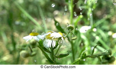 Sudden rain and chamomile. Slow motion allows you to see what sticky drops, what viscous water. Super slow motion 1000 fps