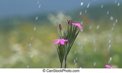 Sudden rain on the meadow and wild carnation under heavy drops. Super slow motion 1000 fps