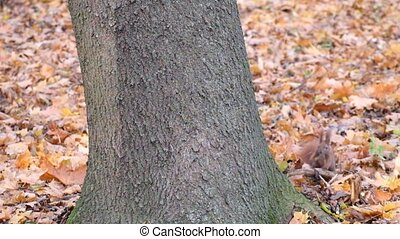 Suddenly a squirrel came out from behind the tree and ran away (Sciurus vulgaris)