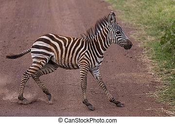 suddenly, zahnfüllung, junger,  zebra
