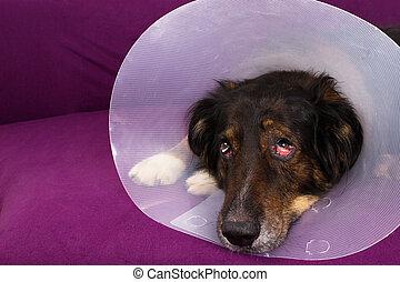 Suffering dog - Dog with eye injury
