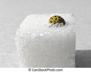 sugar and ladybird